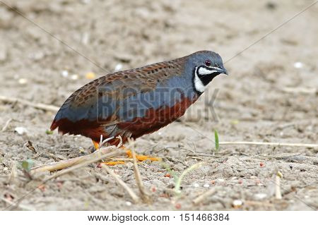 King quail Blue-breasted quail Coturnix chinensis Male Birds of Thailand