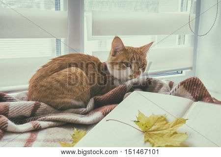 Book with autumn yellow leaf and red-white cat surrounded wool blanket on windowsill. Coloring and processing photos in vintage style with soft selective focus.