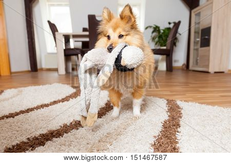 a Shetland Sheepdog with his dog toy