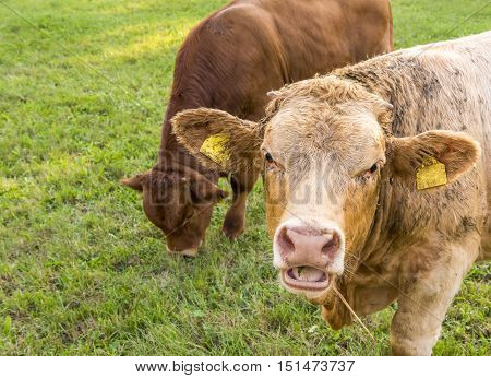 Young bull with open mouth - Animal portrait with a young german bull caught with the mouth open chewing hay