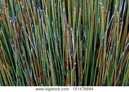Colorful reeds in the morning dew, California