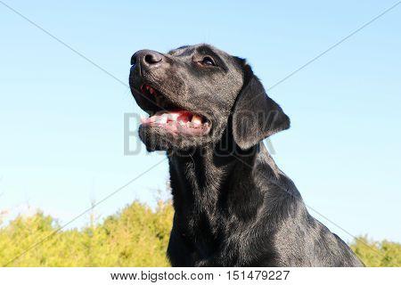 Faithful friend of man - a black Labrador retriever