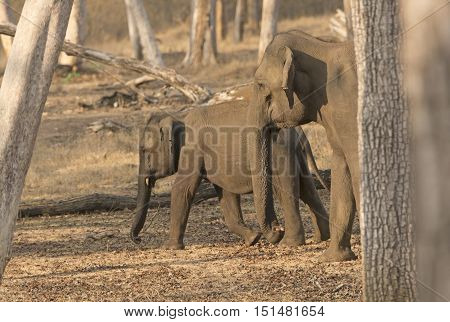 Mother and Baby Elephant in the Forest in Nagarhole National Park in India