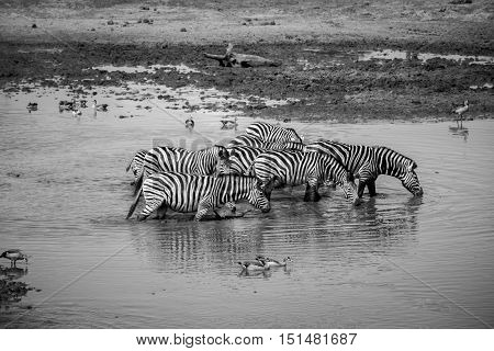 Group Of Zebras Walking Through The Water.