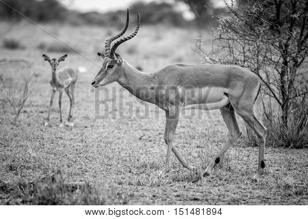 Male Impala In Black And White.