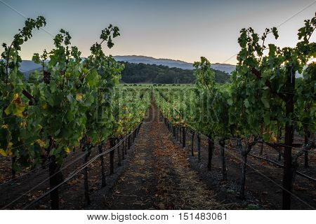 Clear blue sky at sunset in Napa Valley vineyard. Looking down a row of Napa grape vines at dusk in early autumn.