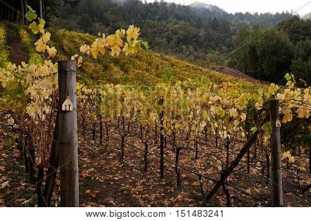 Rows of Napa grape vines in late autumn after harvest. Yellow, green vines in Napa Valley wine country. Family run winery on Mount Veeder.