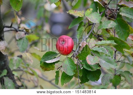 Red ripe organic apple on the twig in the centre of the frame