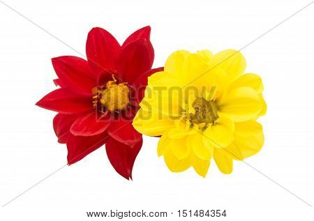 Red dahlia isolated on a white background