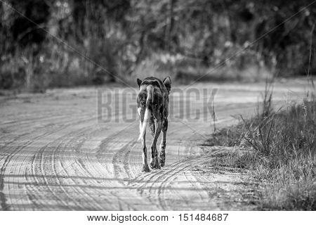 Running African Wild Dog From Behind.