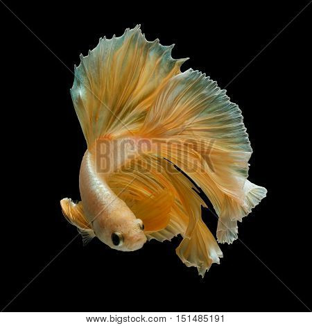 gold betta fish fighting fish siamese fighting fish isolated on black background