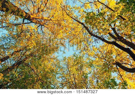 Autumn trees - orange autumn trees tops against blue sky. Autumn natural view of autumn trees. Autumn trees branches against blue autumn sky in sunny autumn weather. Autumn view of autumn tree tops
