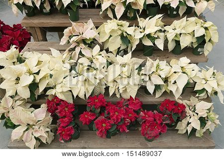 Bright white poinsettia or christmas flower background