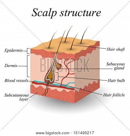 The structure of the hair scalp anatomical training poster. Vector illustration.
