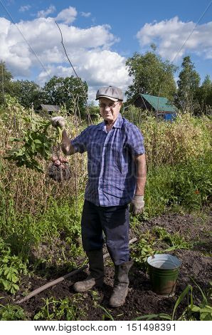 Male pensioner holding the tops with red potato tubers at their summer cottage