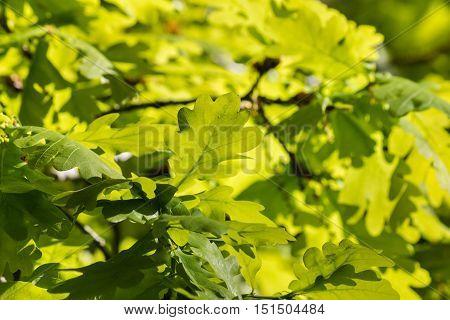 closeup of backlit oak tree leaves in springtime