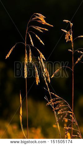 Golden glow at dusk on tall grass and wheat