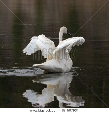 White Trumpeter Swan flapping his wings in Yellowstone River in Yellowstone National Park in Wyoming USA