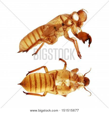 Cicada Husk side and top view isolated on white background