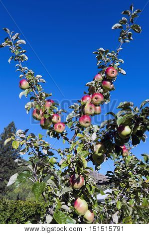 Red Apples Grow On Branches Against Blue Sky In Arrowtown, New Zealand