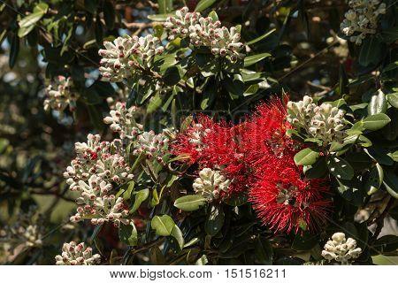 closeup of Pohutukawa tree flowers and buds