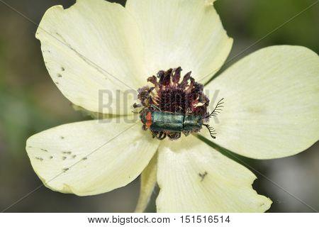 Turban Buttercup - Ranunculus asiaticus Cream form Flower with Common Malachite Beetle - Malachius bipustulatus