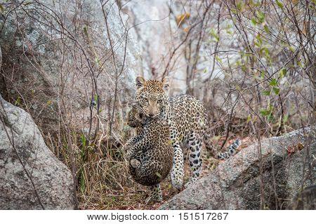 Leopard Carrying A Cub.