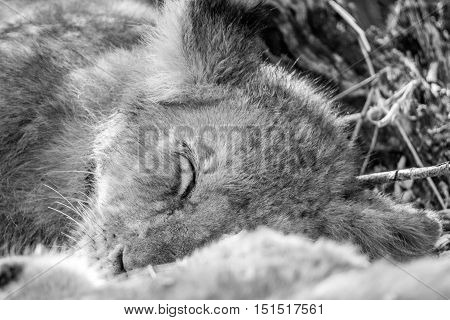 Sleeping Lion Cub In Black And White.