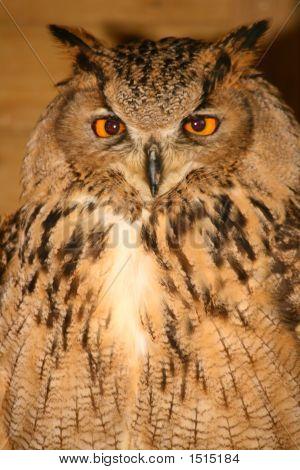 Eagle Owl (1608)
