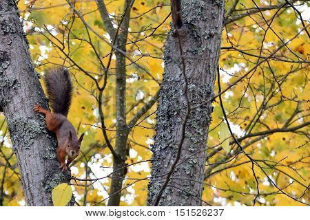 Curious squirrel staring from tree. Yellow autumn leaves background.