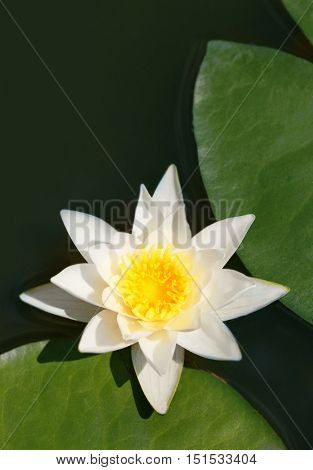 Beautiful waterlily on a pond