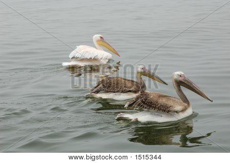 Birdspelicansthree In A Row