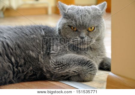 Portrait of British Short hair blue cat. Angry face a recumbent pose bent foot.