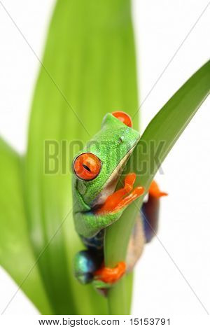 Frosch auf einem Blatt