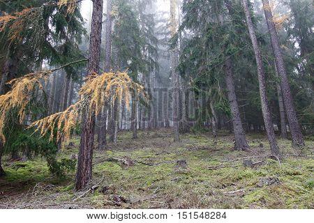 Autumn soniferous forest - Slavkov Forest Carlsbad Highlands Czech republic