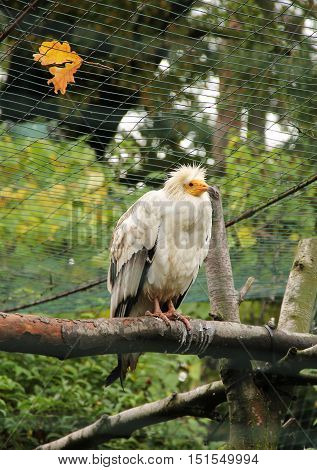 egyptian vulture sitting on the branch and fallen colorful leaves on the aviary