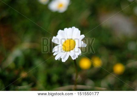 Macro Daisy, Flower