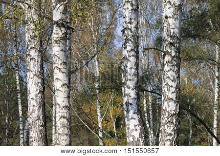 beautiful autumn birch grove in cloudy weather