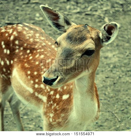 portrait of fawn deer calf, selective focus, square toned image