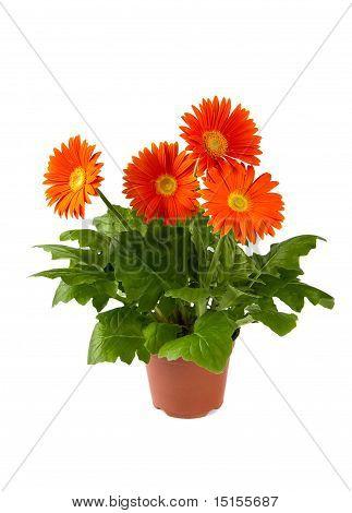 Herbera In Flowerpot