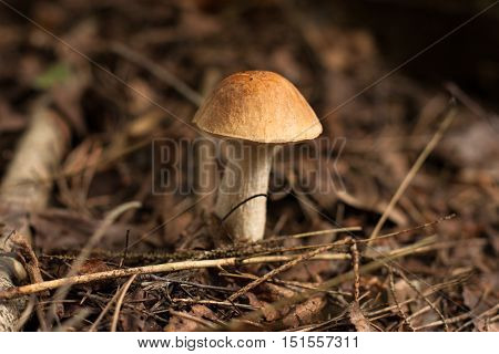 Mushroom Brown Cap Boletus. Edible One Mushroom Brown Cap Boletus (Leccinum Scabrum) In Autumn Forest. Close Up.