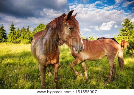Dirty horses grazing in the pasture that is illuminated by the sun. Picturesque and gorgeous scene. Location place Carpathian, Ukraine, Europe. Beauty world.