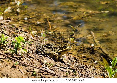 A toad sitting on the ground near the water