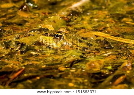 A toad hiding in the water plants