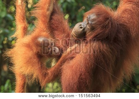 Orangutans: mother and baby