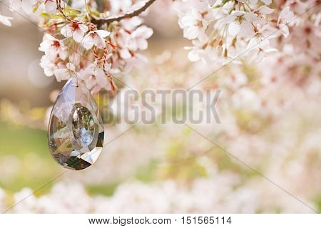 crystal drop in Spring with blossom cherry flower sakura