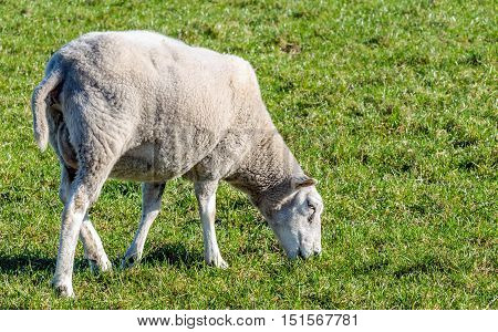 Closeup of a young ewe grazing in the fresh green grass on a sunny day in the spring season.