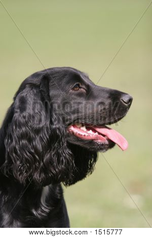 Potrait Photo Of English Cocker Spaniel