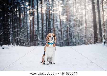 Dog Breed Beagle Walking In Winter Forest