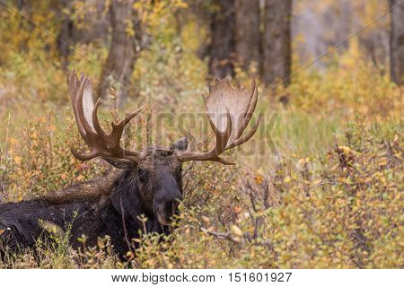 a bull shiras moose bedded in fall during the rut